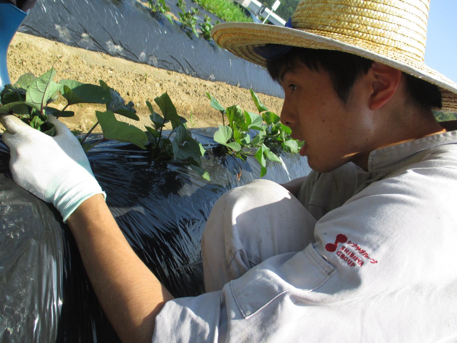 【年間休日105日/農業】畑の土作りからさつま芋苗の植付、収穫・出荷まで